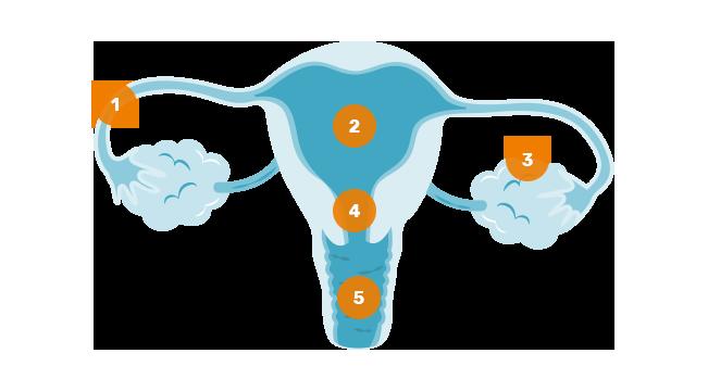 Aufbau und Funktion der weiblichen Geschlechtsorgane